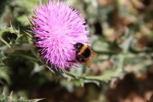 Bourdon Pollinisateur Ecotonia